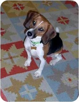 Beagle Mix Dog for adoption in Portland, Oregon - Harmony