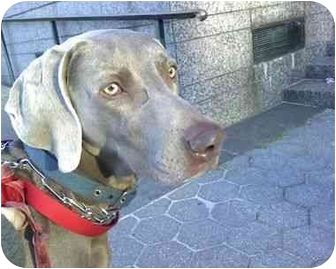 Weimaraner Dog for adoption in Long Beach, New York - Leo