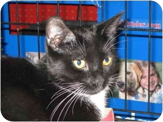 Domestic Shorthair Cat for adoption in Little Falls, New Jersey - RACHEL (MG)