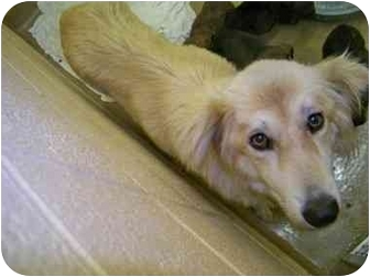 Golden Retriever Mix Dog for adoption in Bel Air, Maryland - Cali