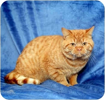 Exotic Cat for adoption in Port Hope, Ontario - The Muffin Man