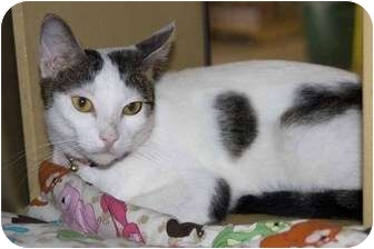 Domestic Shorthair Cat for adoption in New Port Richey, Florida - Mary