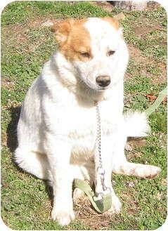 Australian Cattle Dog/Redtick Coonhound Mix Dog for adoption in Hillsboro, Ohio - Fifi
