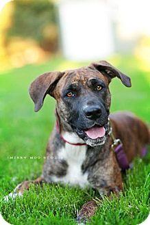Boxer Mix Dog for adoption in Seattle, Washington - Della