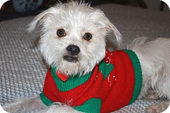 Shih Tzu/Terrier (Unknown Type, Small) Mix Dog for adoption in Bellflower, California - Ferguson - I'm good with kids!