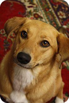 Shepherd (Unknown Type)/Labrador Retriever Mix Dog for adoption in Nashville, Tennessee - Scottie