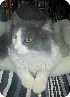 Scottish Fold Cat for adoption in Gilbert, Arizona - Chuckles