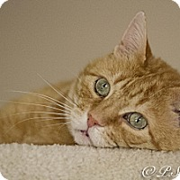 American Shorthair Cat for adoption in Belton, Missouri - Deja vu