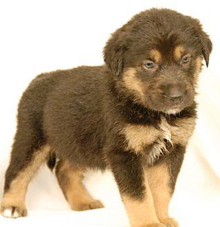 St. Bernard/German Shepherd Dog Mix Puppy for adoption in Newland, North Carolina - Lemon