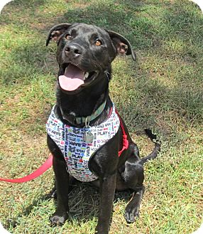 Labrador Retriever Mix Dog for adoption in Kingwood, Texas - Ebony