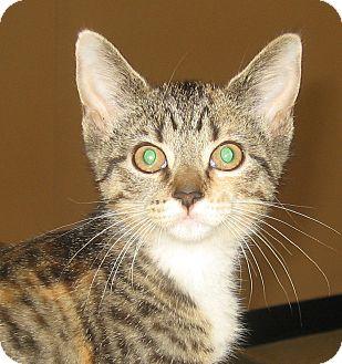 Calico Kitten for adoption in Hamilton, New Jersey - BLAIR