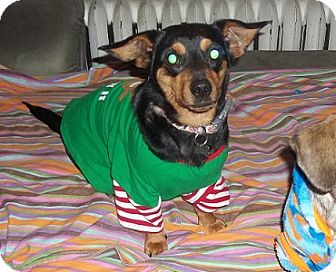 Dachshund Mix Dog for adoption in Hamilton, Ontario - Lola