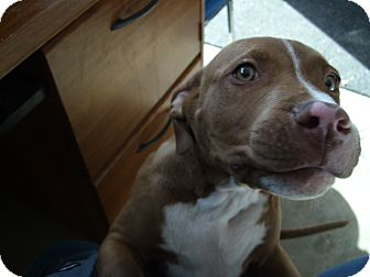 Pit Bull Terrier Puppy for adoption in Cripple Creek, Colorado - Nuke