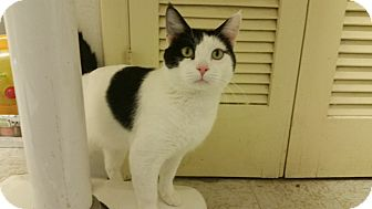 Domestic Shorthair Cat for adoption in Indianola, Iowa - E-7 Hank
