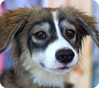 Australian Shepherd Mix Puppy for adoption in Houston, Texas - Finnegan