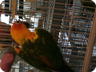 Conure for adoption in Punta Gorda, Florida - Ceasar & Cleo