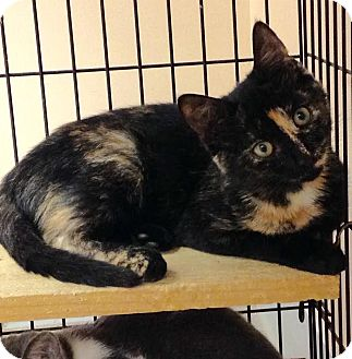 Domestic Shorthair Kitten for adoption in East Brunswick, New Jersey - Summer