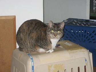 Domestic Shorthair Cat for adoption in HAYWARD, California - CA - Cookie (CP)