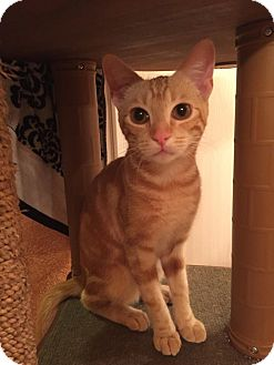 Domestic Shorthair Cat for adoption in Mansfield, Texas - Lacy