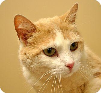 Domestic Shorthair Cat for adoption in Hastings, Nebraska - Marshall