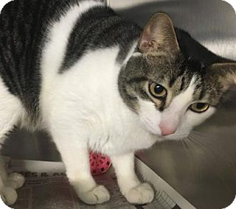 Domestic Shorthair Cat for adoption in Voorhees, New Jersey - Milo