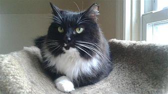 Domestic Shorthair Cat for adoption in Fairfax Station, Virginia - Daffodil