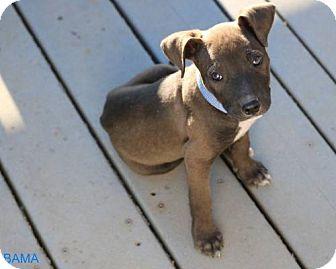 American Pit Bull Terrier Puppy for adoption in Sacramento, California - Bama