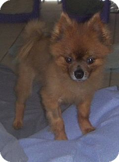 Pomeranian Mix Dog for adoption in Spring Hill, Florida - Josey
