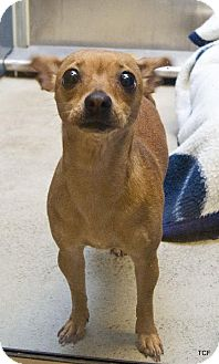 Chihuahua Mix Dog for adoption in Bellingham, Washington - Buffy