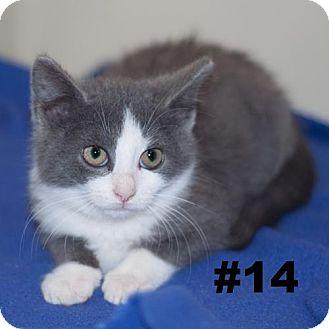 Domestic Shorthair Kitten for adoption in New Martinsville, West Virginia - Oscarette & Scarlette