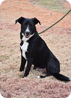 Border Collie/Labrador Retriever Mix Dog for adoption in Nyack, New York - Buddy
