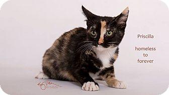 Domestic Shorthair Kitten for adoption in Sherman Oaks, California - Priscilla