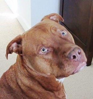 American Pit Bull Terrier/Rhodesian Ridgeback Mix Dog for adoption in Castro Valley, California - Kuddi