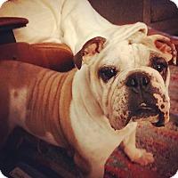 Adopt A Pet :: Dame Judi Dench - Park Ridge, IL