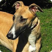 Adopt A Pet :: Benny - Florence, KY