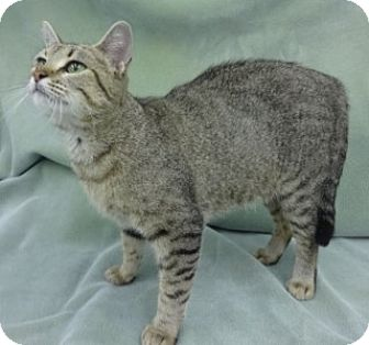 Domestic Shorthair Cat for adoption in Olive Branch, Mississippi - Cami