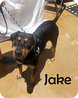 Catahoula Leopard Dog Mix Dog for adoption in Hammond, Louisiana - Jake