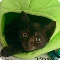 Adopt A Pet :: Inch - Brooklyn, NY