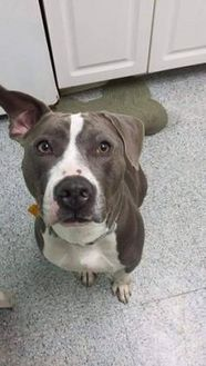 American Pit Bull Terrier Mix Dog for adoption in Greenville, Pennsylvania - Kaleb