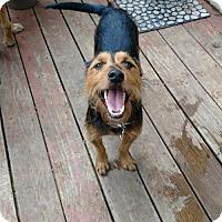 Adopt A Pet :: Harley - Palatine/Kildeer/Buffalo Grove, IL