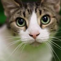 Domestic Shorthair/Domestic Shorthair Mix Cat for adoption in Cumming, Georgia - Alvin