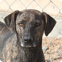 Adopt A Pet :: Capri - Hooksett, NH