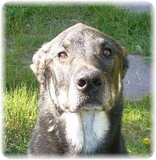 German Shepherd Dog/Shepherd (Unknown Type) Mix Dog for adoption in Seattle c/o Kingston 98346/ Washington State, Washington - Nikki