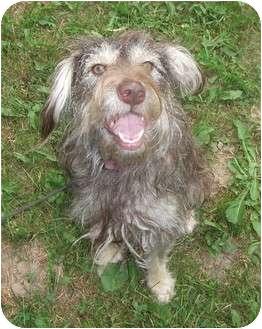 Schnauzer (Standard)/Pug Mix Dog for adoption in Coudersport, Pennsylvania - CALLIE