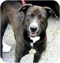 Border Collie/Labrador Retriever Mix Dog for adoption in Wilmington, Delaware - Tank