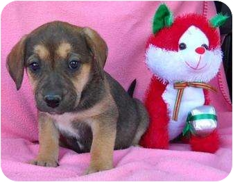 Beagle/Shepherd (Unknown Type) Mix Puppy for adoption in Salem, New Hampshire - Saint