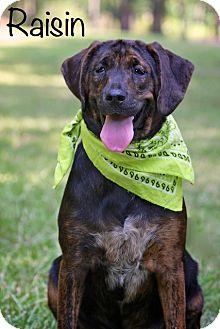 Hound (Unknown Type) Mix Dog for adoption in Wilmington, Delaware - Raisin