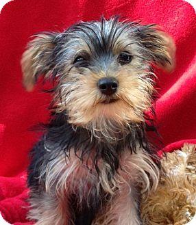 Yorkie, Yorkshire Terrier Mix Puppy for adoption in Irvine, California - Teddy