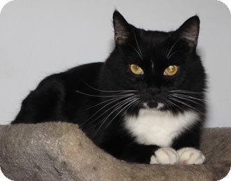 Domestic Shorthair Cat for adoption in Merrifield, Virginia - Dino