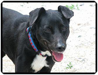 Labrador Retriever/Fox Terrier (Smooth) Mix Dog for adoption in Indianapolis, Indiana - Keita